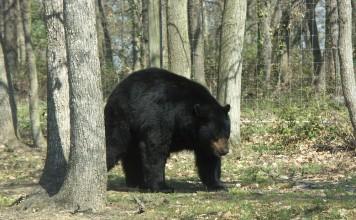 un ours noir se promène