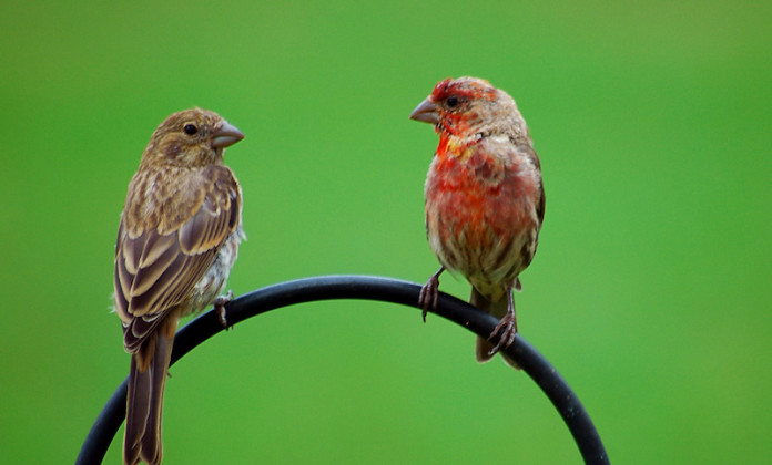 House Finch Birds