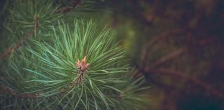 pine-463469_1280