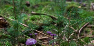 violet-laccaria-478055_1280