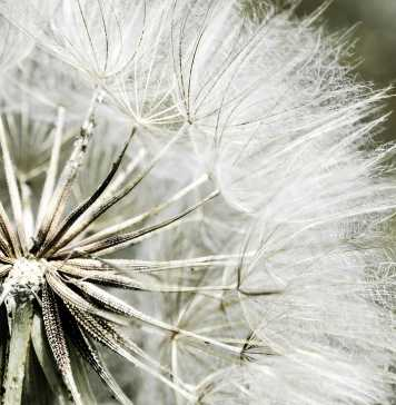 dandelion-431079_1280
