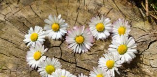 daisy-heart-flowers-flower-heart-2