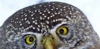 owl-young-animal-bird-60688