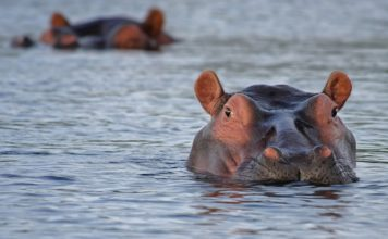 hippo-hippopotamus-animal-look-46540